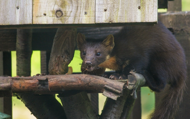 The rare Pine Marten is a regular visitor